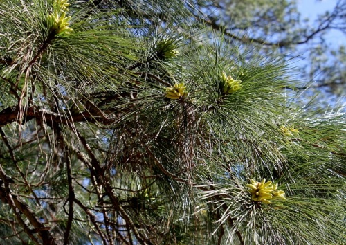 . . . and the pine trees are filled with pollen pods.