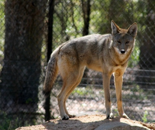 At first I thought this was a coyote, but it's a Red Wolf, and he was very interested in what we were going to do next.
