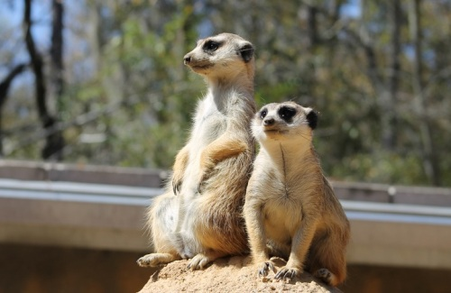 My absolute favorites - the Meerkats . . .