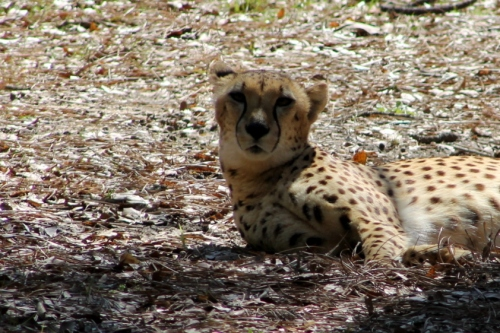 The fastest runner in the animal kingdom - the Cheetah.  Not today though - this one was very sleepy.