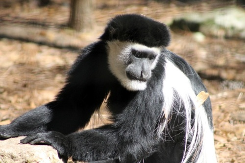 The Colobus Monkeys were very solemn . . .