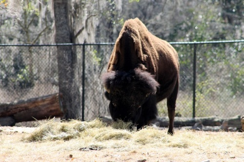 The mighty Bison.