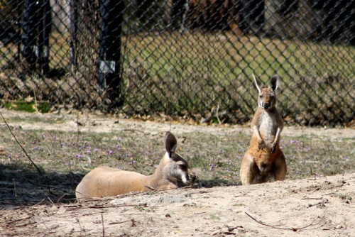 Several lazy kangeroos  . . .