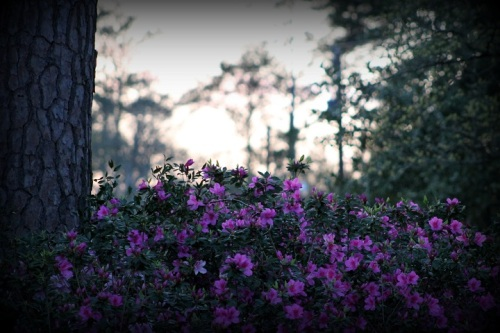 We have a huge bed of azaleas in the front yard, and they looked really pretty one evening as the sun was setting.